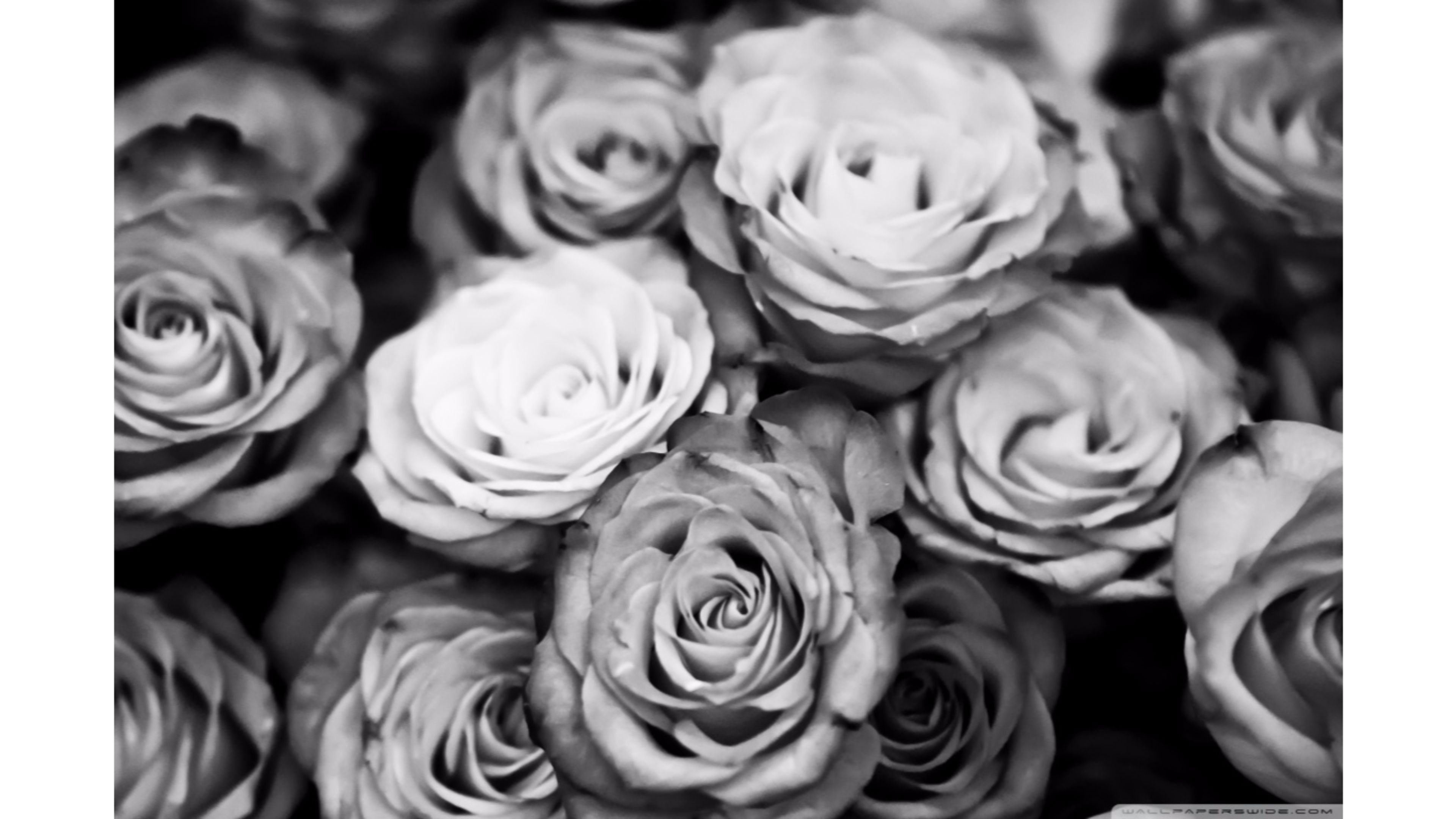 Black And White Rose Wallpaper 19 The Worldwide Tribe